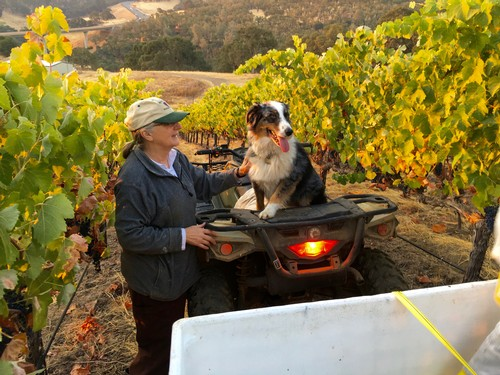 Timber and vineyard manager Corinne at our Gold Creek Vineyard harvest